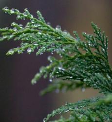 cypress-oil-img