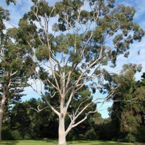 eucalyptus-citriodora_img1