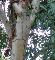 eucalyptus-oil-img