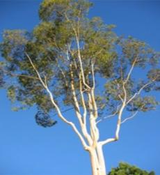 eucalyptus_img1