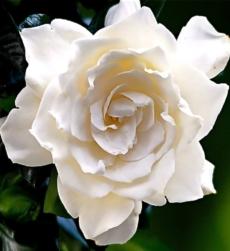 gardenia_img1