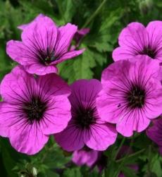 geranium-oil-img