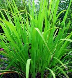 ginger-grass-oil-img
