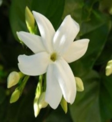 jasmine-grandi-flora-img