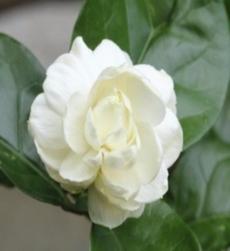 jasmine-sambac-img