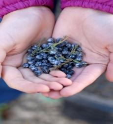 juniper-berry-oil-img