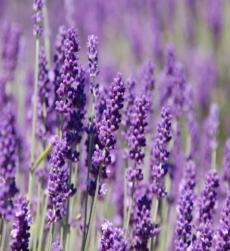 lavender-bulgarian-oil-img