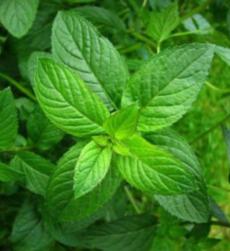 mentha-oil-img (1)