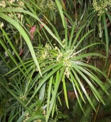 nagarmotha-oil-img