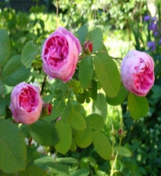 rose-oil-centifolia-img