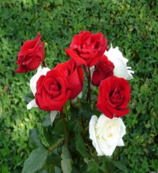 rose-oil-indian-img