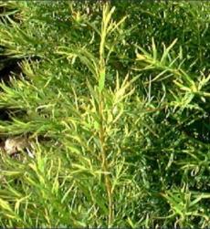 tea-tree-oil-img